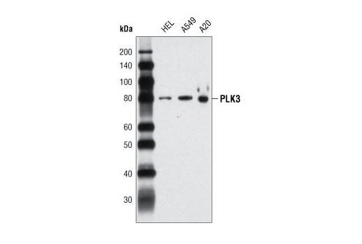 Western blot analysis of extracts from HEL, A549 and A20 cells using PLK3 (D14F12) Rabbit mAb.