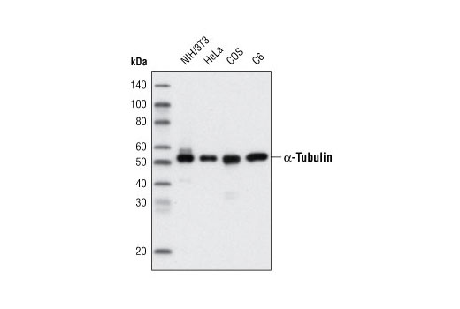 Western blot analysis of extracts from various cell lines using α-Tubulin (11H10) Rabbit mAb (HRP Conjugate).