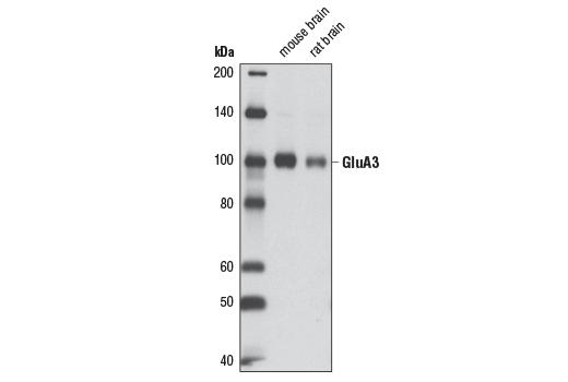 Monoclonal Antibody - AMPA Receptor 3 (GluA3) (D25G9) Rabbit mAb, UniProt ID P42263, Entrez ID 2892 #5117 - Primary Antibodies