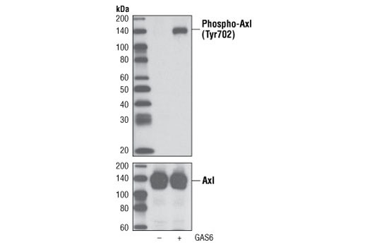 Western blot analysis of extracts from NCI-H1299 cells, untreated or Gas6-treated (100 ng/ml for 10 minutes), using Phospho-Axl (Tyr702) (D12B2) Rabbit mAb (upper) or Axl (C44G1) Rabbit mAb #4566 (lower).