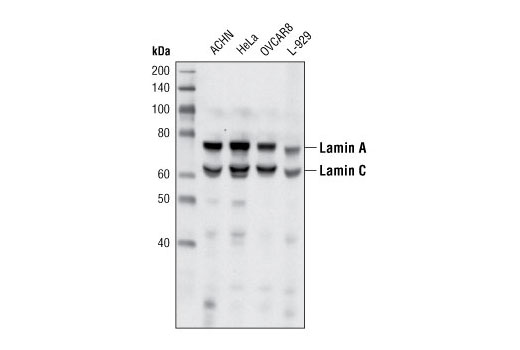 Western blot analysis of extracts from various cell lines using Lamin A/C (4C11) Mouse mAb.