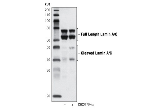 Western blot analysis of extracts from THP-1 cells, untreated or treated with cycloheximide (CHX, 10 μg/ml, overnight) followed by TNF-α #8902 (20 ng/ml, 4 hr), using Lamin A/C (4C11) Mouse mAb.