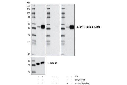 Western blot analysis of extracts from HeLa cells, untreated or TSA-treated (400 nM for 16 hours), using Acetyl-α-Tubulin (Lys40) (D20G3) XP<sup>®</sup> Rabbit mAb (upper) and α-Tubulin (11H10) Rabbit mAb #2125 (lower). The acetyl-specificity of the antibody was verified by blocking with an acetyl- or non-acetylpeptide.