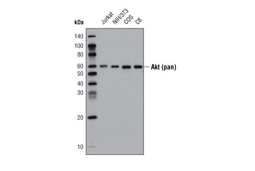 Monoclonal Antibody - Akt (pan) (40D4) Mouse mAb (HRP Conjugate), UniProt ID P31749, Entrez ID 10000 #4298, Antibodies to Kinases