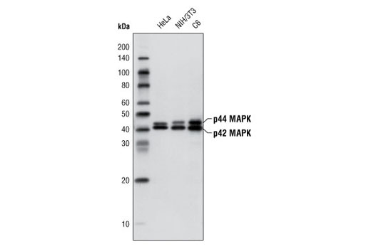 Western blot analysis of extracts from HeLa, NIH/3T3 and C6 cells, using p44/42 MAPK (Erk1/2) (137F5) Rabbit mAb (HRP Conjugate).