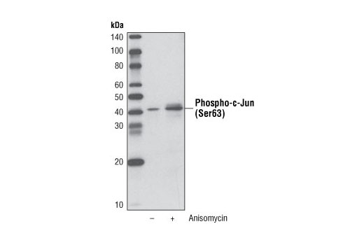 Western blot analysis of extracts from C6 cells, untreated or anisomycin-treated, using Phospho-c-Jun (Ser63) (54B3) Rabbit mAb (Biotinylated) and detected with Streptavidin-HRP #3999.