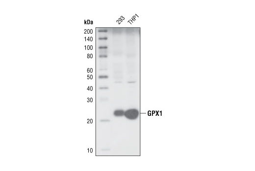 Western blot analysis of extracts from 293 and THP1 cells, using GPX1 Antibody.