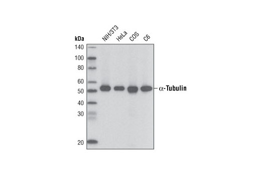 Western blot analysis of extracts from various cell lines using α-Tubulin (11H10) Rabbit mAb (Biotinylated) and developed using Streptavidin-HRP #3999.