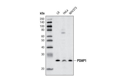 Polyclonal Antibody Immunoprecipitation Signal Transduction - count 20