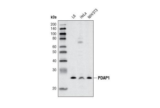 Polyclonal Antibody - PDAP1 Antibody - Immunoprecipitation, Western Blotting, UniProt ID Q13442, Entrez ID 11333 #4300, Growth Factors/Cytokines