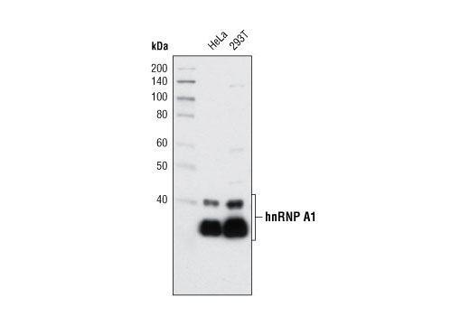Western blot analysis of extracts from HeLa and 293T cells using hnRNP A1 (K350) Antibody.