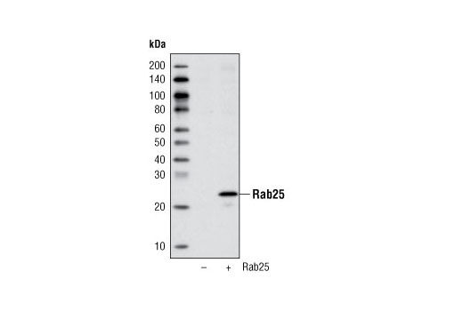 Polyclonal Antibody Immunoprecipitation Myosin v Binding