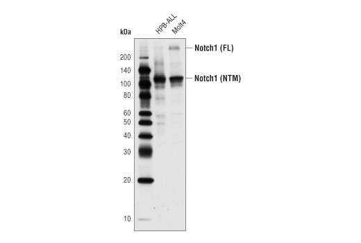 Western blot analysis of extracts from HPB-ALL, and Molt4 using Notch1 (D6F11) XP<sup>®</sup> Rabbit Ab. The full-length (FL) and transmembrane/intracellular region (NTM) are indicated.