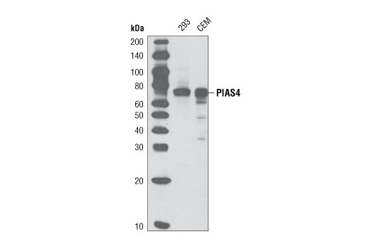 Western blot analysis of extracts from 293 and CCRF-CEM cells using PIAS4 (D2F12) Rabbit mAb.