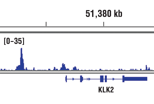 Chromatin immunoprecipitations were performed with cross-linked chromatin from LNCaP cells grown in phenol red free medium and 5% charcoal stripped FBS for 3 d then treated with dihydrotestosterone (DHT, 10 nM) for 4 hours and Androgen Receptor (D6F11) XP<sup>®</sup> Rabbit mAb, using SimpleChIP<sup>®</sup> Plus Enzymatic Chromatin IP Kit (Magnetic Beads) #9005. DNA Libraries were prepared using SimpleChIP<sup>®</sup> ChIP-seq DNA Library Prep Kit for Illumina<sup>®</sup> #56795. The figure shows binding across KLK2, a known target gene of Androgen Receptor (see additional figure containing ChIP-qPCR data). For additional ChIP-seq tracks, please download the product data sheet.