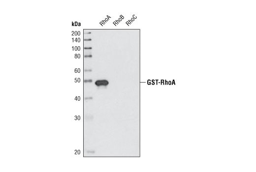 Western blot analysis of recombinant GST-tagged RhoA, RhoB and RhoC using RhoA (67B9) Rabbit mAb.