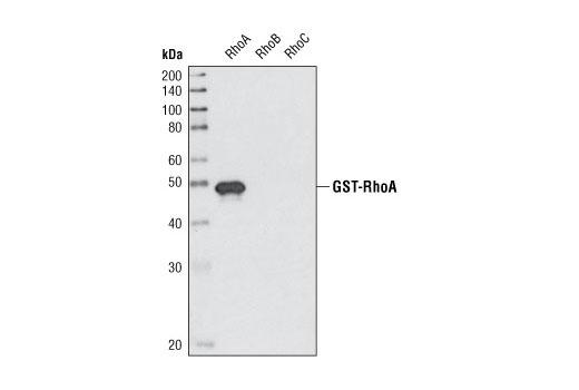 Western blot analysis of recombinant GST-tagged RhoA, RhoB and RhoC using RhoA (67B9) Rabbit mAb.