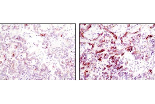 Immunohistochemistry Paraffin Secondary Antibody