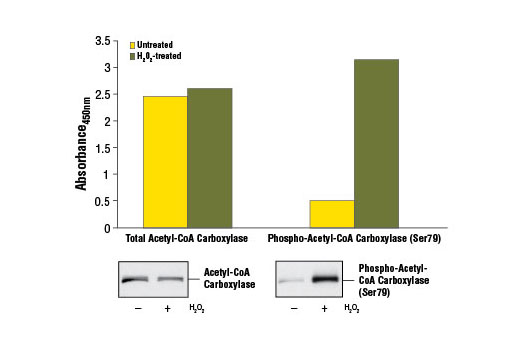 Figure 1. Treatment of Hep G2 cells with H<sub>2</sub>O<sub>2</sub> stimulates phosphorylation of ACC at Ser79, detected by the PathScan<sup>®</sup> Phospho-ACC (Ser79) Sandwich ELISA Kit #7986, but does not affect the levels of total ACC detected by PathScan<sup>®</sup> Total ACC Sandwich ELISA Kit #7996. Hep G2 cells (80-90% confluent) were treated 10 mM hydrogen peroxide for 10 minutes and lysed with #7018. The absorbance readings at 450 nm are shown in the top figure, while the corresponding western blots using Acetyl-CoA Carboxylase (C83B10) Rabbit mAb #3676 (left panel) or Phospho-Acetyl-CoA Carboxylase (Ser79) Antibody #3661 (right panel) are shown in the bottom figure.