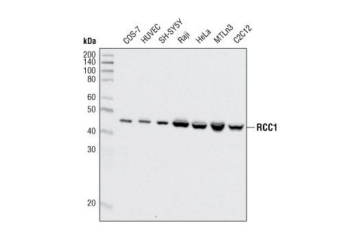 Western blot analysis of extracts from various cell types using RCC1 (D15H6) Rabbit mAb.