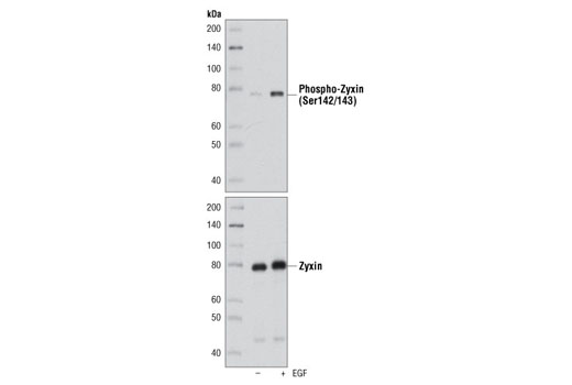 Polyclonal Antibody Western Blotting Regulation of Inflammatory Response - count 20