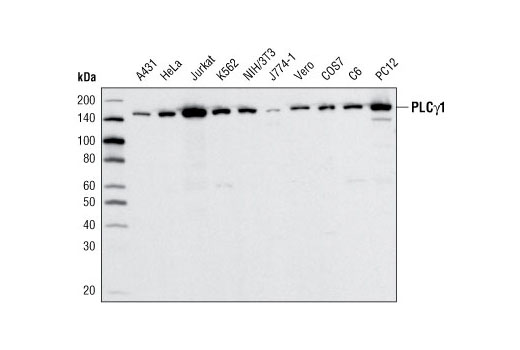 Western blot analysis of extracts from various cell lines using PLCγ1 (D9H10) XP<sup>®</sup> Rabbit mAb.
