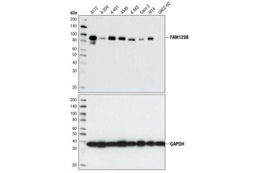 Western blot analysis of whole cell extracts from various cell lines using FAM129B Antibody (upper) or GAPDH (14C10) Rabbit mAb Antibody #2118 (lower).