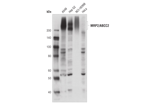 Western blot analysis of extracts from various cell lines using MRP2/ABCC2 (R260) Antibody.