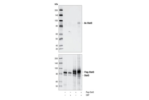 Polyclonal Antibody Signal Transducer Activity