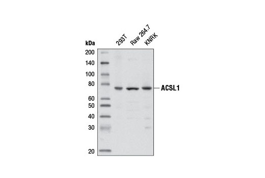 Western blot analysis of extracts from various cell lines using ACSL1 (D2H5) Rabbit mAb.