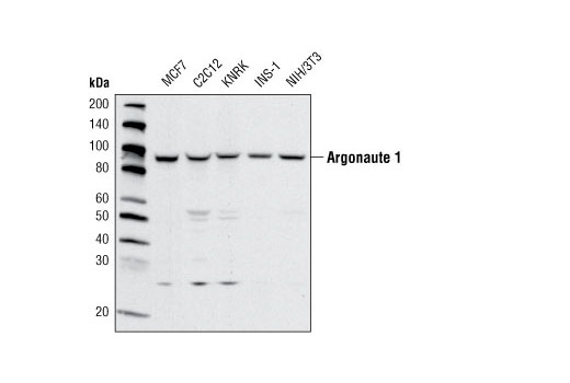 Western blot analysis of extracts from various cell lines using Argonaute 1 Antibody.