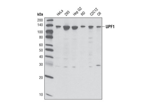 Western blot analysis of extracts from various cell types using Upf1 Antibody.