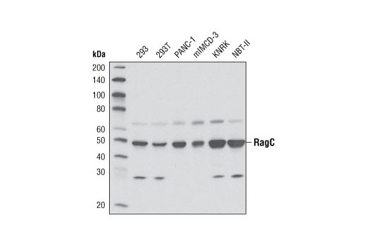 Western blot analysis of extracts from various cell lines using RagC (D8H5) Rabbit mAb.