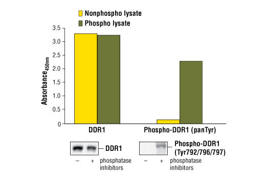 Figure 1: Constitutive phosphorylation of DDR1 in Calu-3 cells lysed in the presence of phosphatase inhibitors* (phospho lysate) is detected by PathScan<sup>®</sup> Phospho-DDR1 (panTyr) Sandwich ELISA Kit #7863 (upper, right). In contrast, a low level of phospho-DDR1 protein is detected in Calu-3 cells lysed in the absence of phosphatase inhibitors* (nonphospho lysate). Similar levels of total DDR1 protein from both nonphospho and phospho lysates are detected by PathScan<sup>®</sup> Total DDR1 Sandwich ELISA Kit #7845 (upper, left). Absorbance at 450 nm is shown in the top figure while corresponding western blots using a Phospho-DDR1 (Tyr792/796/797) rabbit antibody (right) or a total DDR1 rabbit antibody (left) are shown in the bottom figure. *Phosphatase inhibitors include sodium pyrophosphate, β-glycerophosphate and Na<sub>3</sub>VO<sub>4</sub>.