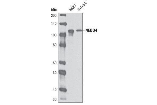 Monoclonal Antibody - NEDD4 (D82F4) Rabbit mAb - Immunoprecipitation, Western Blotting, UniProt ID P46934, Entrez ID 4734 #5344 - Ubiquitin and Ubiquitin-Like Proteins