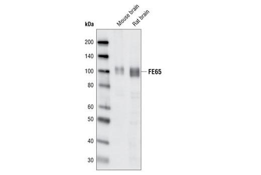 Polyclonal Antibody - FE65 Antibody - Western Blotting, UniProt ID O00213, Entrez ID 322 #2877, Neuroscience