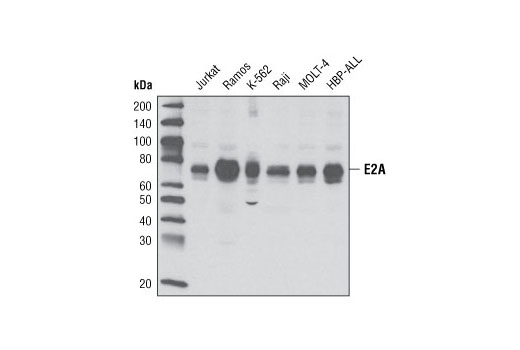 Western blot analysis of extracts from various cell lines using E2A Antibody.