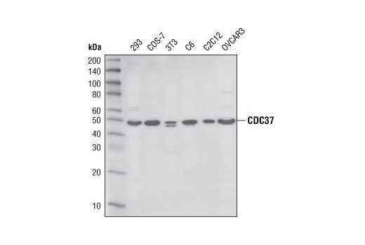 Western blot analysis of extracts from various cell lines using CDC37 (D11A3) XP<sup>®</sup> Rabbit mAb.