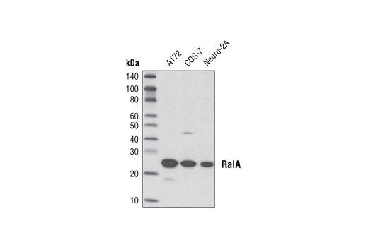 Western blot analysis of extracts from A172, COS-7 and Neuro-2A cells using RalA (D6G8) Rabbit mAb.