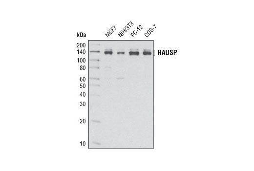 Western blot analysis of extracts from various cell lines using HAUSP (D17C6) XP<sup>®</sup> Rabbit mAb.