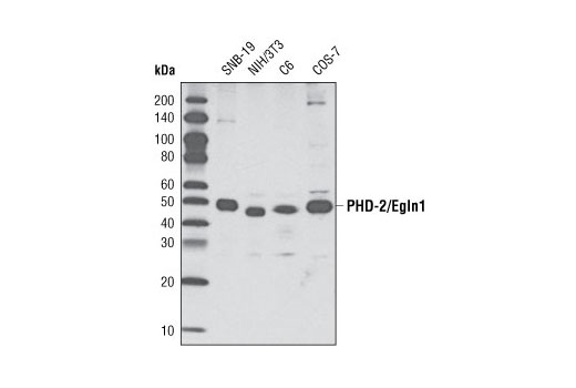 Western blot analysis of extracts from various cell types using PHD-2/Egln1 (D31F11) Rabbit mAb.