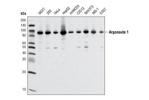 Western blot analysis of extracts from various cell types using Argonaute 1 (D84G10) XP<sup>®</sup> Rabbit mAb.