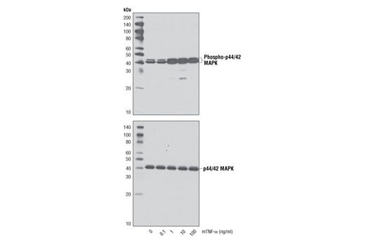 Western blot analysis of extracts from HeLa cells, untreated or treated with mouse TNF-α for 20 minutes, using Phospho-p44/42 MAPK (Erk1/2) (Thr202/Tyr204) (D13.14.4E) XP<sup>®</sup> Rabbit mAb #4370 (upper) and p44/42 MAPK (Erk1/2) (137F5) Rabbit mAb #4695 (lower).