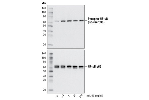 Western blot analysis of extracts from 3T3 MEFs WT untreated or treated with mIL-1β for 15 minutes, using Phospho-NF-κB p65 (Ser536) (93H1) Rabbit mAb #3033 (upper) and NF-κB p65 (E498) Antibody #3987 (lower).