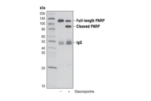 Immunoprecipitation of HeLa cell lysates, untreated or staurosporine-treated, using PARP (46D11) Rabbit mAb (Sepharose<sup>®</sup> Bead Conjugate). The blot was probed using PARP (46D11) Rabbit mAb #9532.