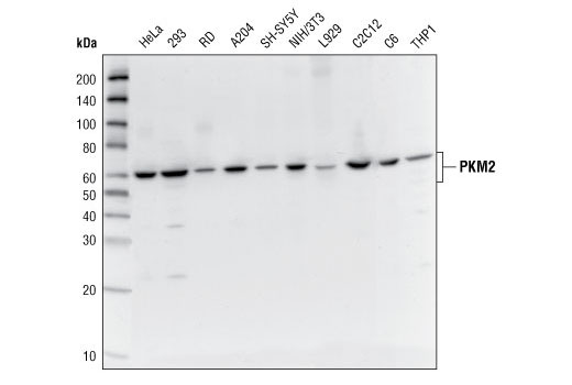 Western blot analysis of extracts from various cell lines using PKM1/2 Antibody.