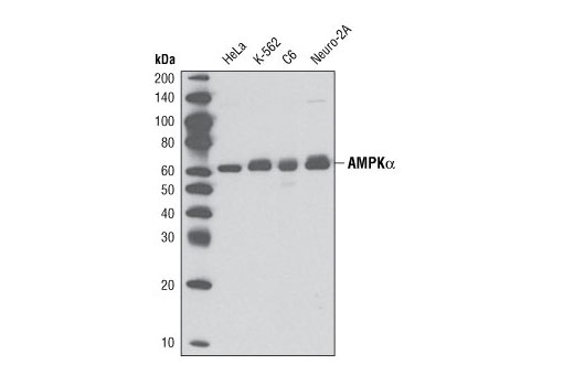 Western blot analysis of extracts from HeLa, K-562, C6, and Neuro-2a cells using AMPKα (D5A2) Rabbit mAb.