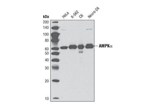 Western blot analysis of extracts from HeLa, K-562, C6, and Neuro-2a cells using AMPKα (D63G4) Rabbit mAb.