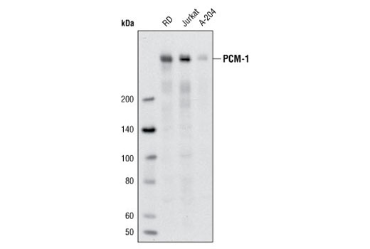 Western blot analysis of extracts from RD, Jurkat, and A-204 cells using PCM-1 (Q15) Antibody.
