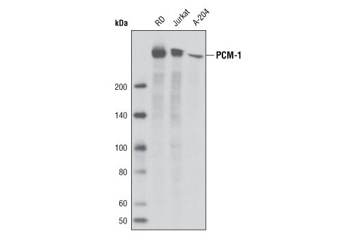 Western blot analysis of extracts from RD, Jurkat and A-204 cell lines using PCM-1 (G2000) Antibody.